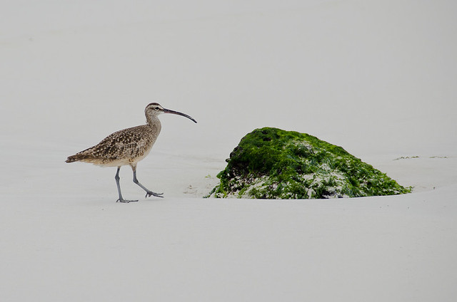 Galapagos Birds: Whimbrel