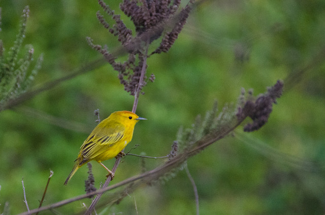 Galapagos Birds: Yellow Warbler