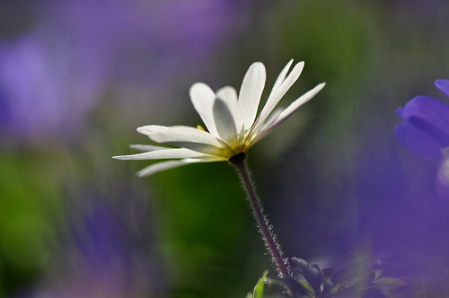 Spring colours, Grecian Windflower, white Anemone