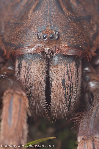 portrait of a tarantula spider IMG_9237 copy