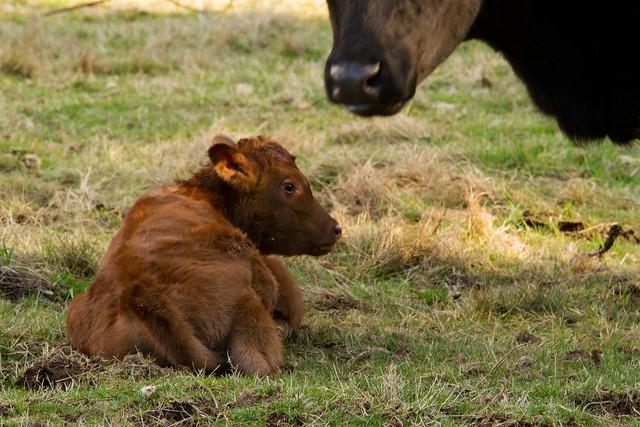 2013_first_calf