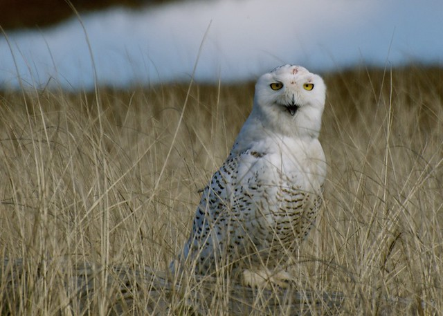 Ft Stevens Snowy Owl