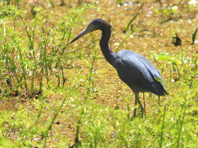 Little Blue Heron 20130310
