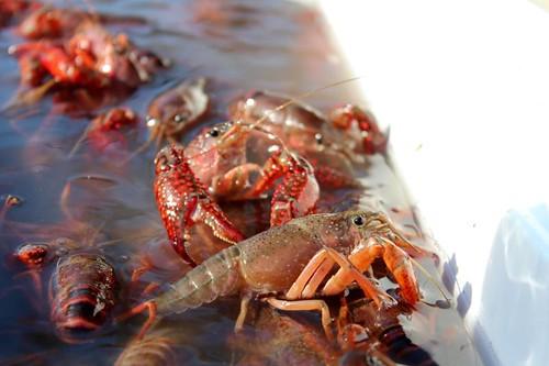 Crawfish2013-11