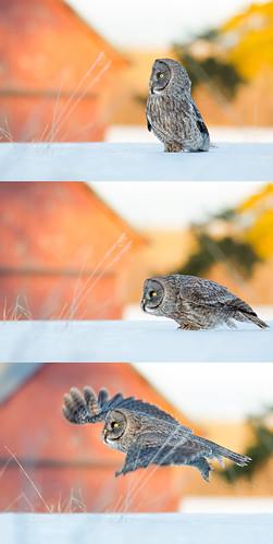 ontario canada bird barn gg nikon wildlife greatgreyowl owl series birdofprey northernontario algoma greatgrey stjosephisland nikond7000 nikonafs300mmvrf28