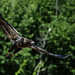 Flight of the Juvenile Eagle (20160719-150318-PJG) by DrgnMastr