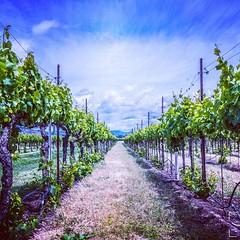 #wine #vineyard #cali #nappa #photography #nikon #d800 #jamiepryerphotography #travelisamazing #travel #adventure #amazingearth #earthfocus #ig_myshot #discoverglobe #naturegeography #ourplanetdaily #travel_is_amazing #liveoutdoors    @nikon_photography_