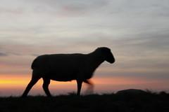 Norddeich - Schaf auf dem Deich