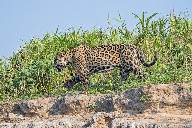 Jaguar walking along the river