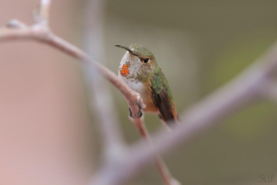 Allen's Hummingbird 010613-4