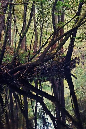 trees summer usa nature water rural river woods nikon florida country historic swamp northamerica cypress fl amateur levy oldflorida cypressswamp mattweldon levycounty levycountyfl doriweldonphotography doriweldon waccasassariverfl