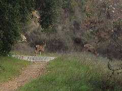 Deer in Malibu Creek State Park