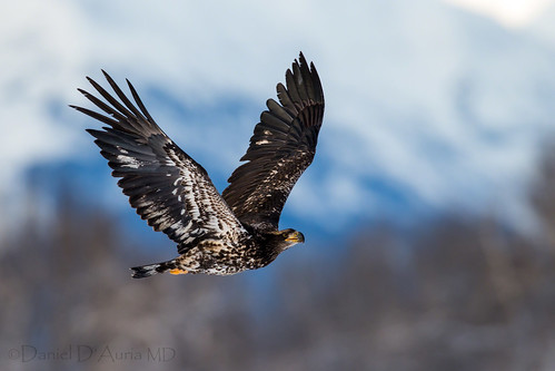 Juvenile Bald Eagle in flight over Chilkat Preserve 5125