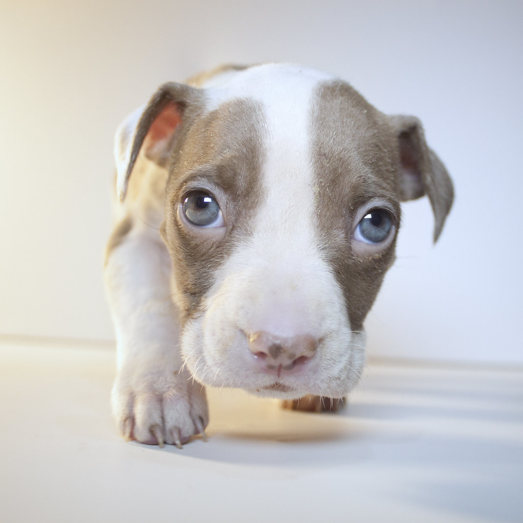 Phoenix The Six Week Old Female Pitbull Puppy I Picked Thi Flickr
