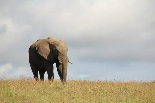 Elephant in Africa - Flickr CC frontierofficial
