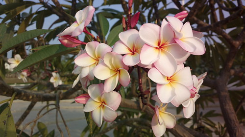 Plumeria (common name Frangipani) by Saad Faruque