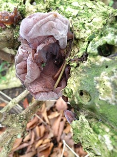 Jews Ear Fungi on Elder