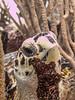 Hawksbill Turtle Closeup