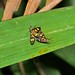 Small photo of Arctiid Moths (Amata sp.) mating