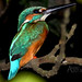 Kingfisher by Anand Lepcha