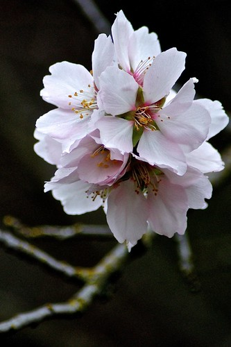 Weekly Photo: 6/52 Almond Blossoms by Kristen Koster on flickr