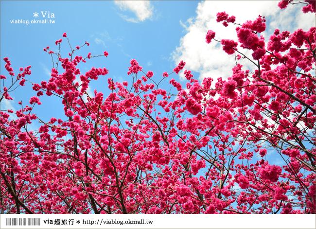 【泰安派出所櫻花】全台最美的警察局~台中后里泰安派出所櫻花大盛開!