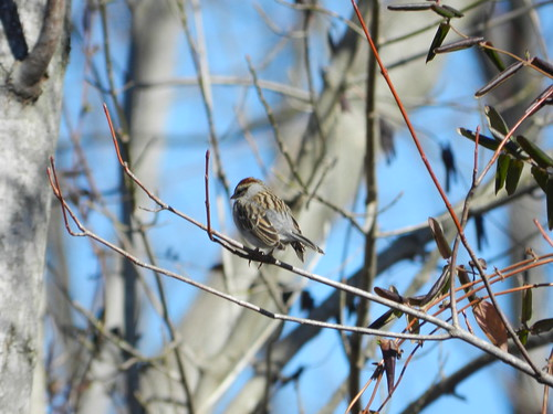 February Chipping Sparrow