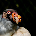 King Vulture / urubu rei by Shalla Ball