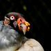 King Vulture / urubu rei by Shalla Ball
