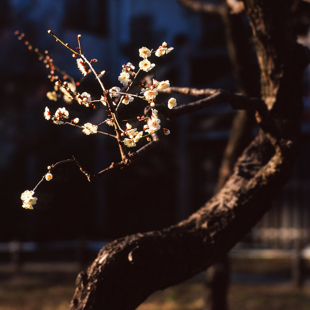 枝先の梅花