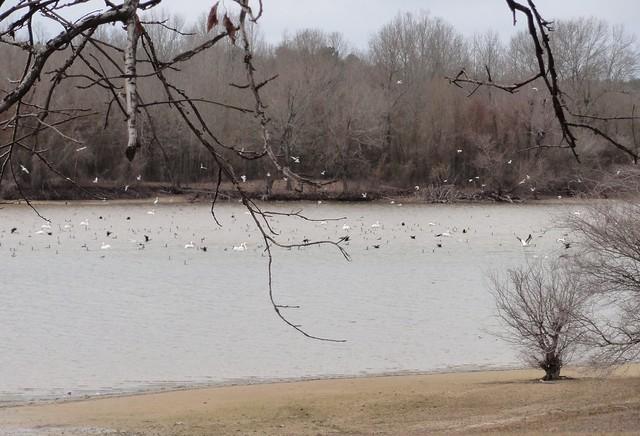 Pelicans, seagulls, waterfowl