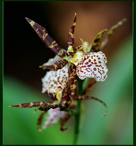 orchid by atsjebosma