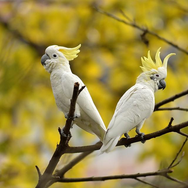 野生的小葵花鳳頭鸚鵡 Cockatoo Pair With Crest Raised