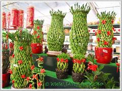 Dracaena braunii or D. sanderiana (Lucky Bamboo, Ribbon Plant/Dracaena, Belgian Evergreen), at a garden nursery