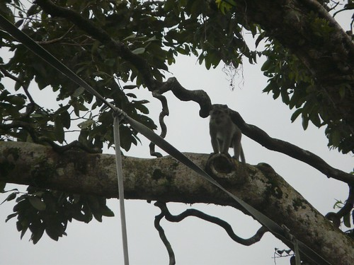 Macaque Monkey Playing in trees