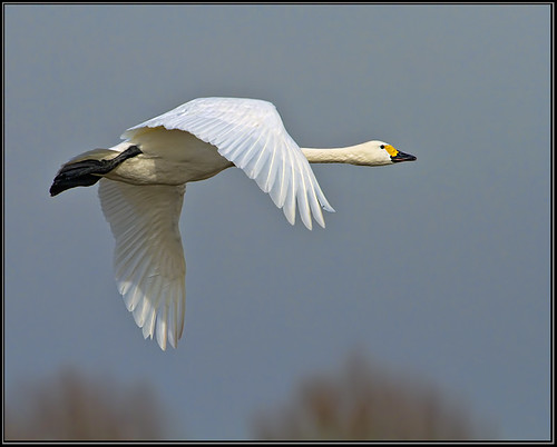 Bewick's Swan (Cygnus columbianus), Slimbridge WWT, February 2013 by Warrener
