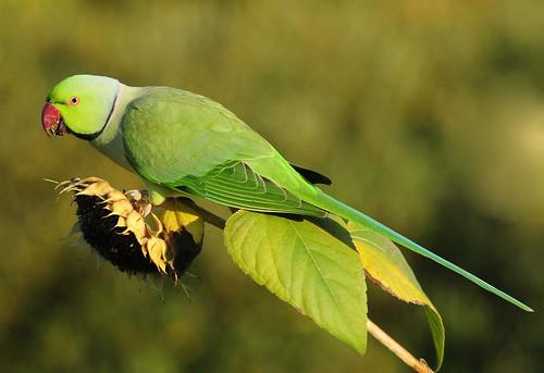 Ring Necked Parakeet Breeding Season