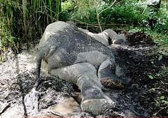 剛果民主共和國維龍加國家公園內的大象屍體(攝影:gorillacd)