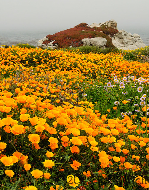 Wildflowers (poppies) in Point Lobos State Reserve