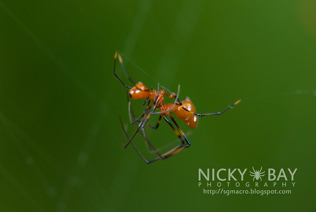 Comb-Footed Spiders (Theridiidae) - DSC_6187