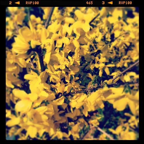 うちの桜はまだ5分咲きくらいなんで、勝手口を出て直ぐのとこに植えてる奴....