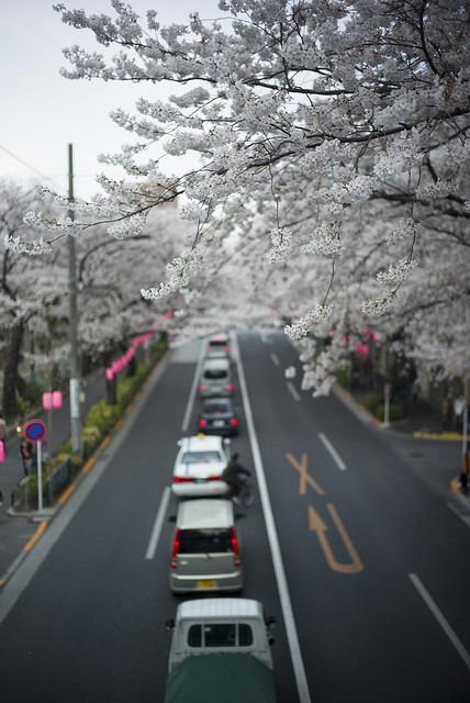 中野通りの桜3