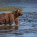 Bear at Sunset by blackhawk32