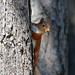 0K4A4962_2 Crop   Red Squirrel