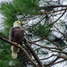 "Bald Eagle  ""cnpa-midlands"""