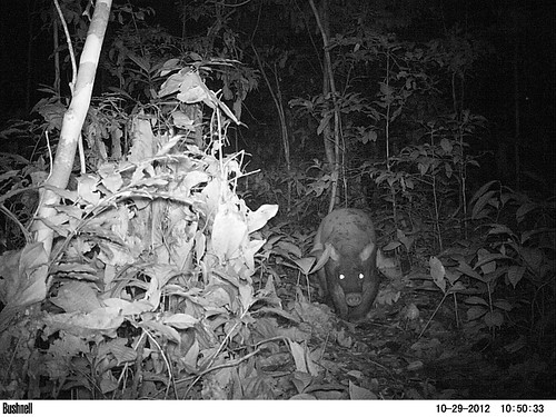 little known forest aardvark with small ears