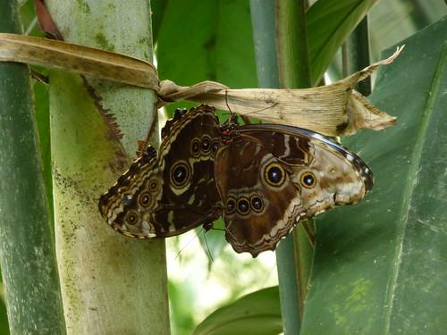 Selvatura Park - vrijende vlinders