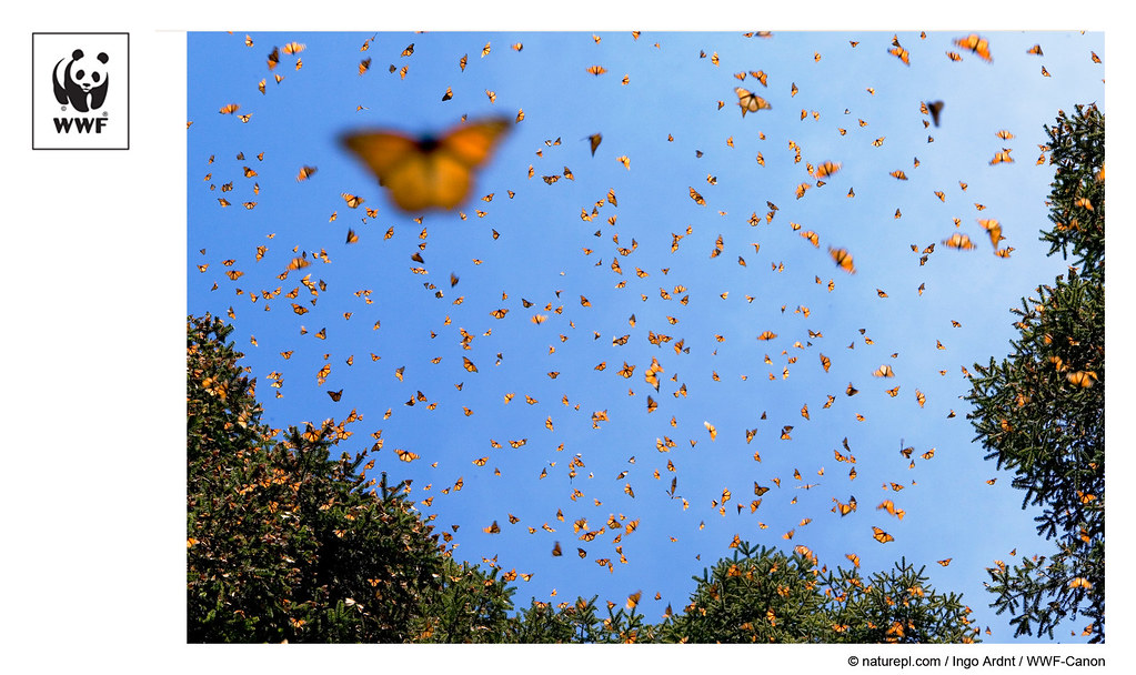 WWF-Canon Pic of the Week - Monarch Butterflies