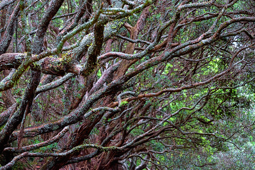 A tangle of branches in the Auckland Domain park
