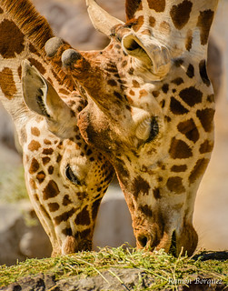 Sharing like giraffes